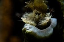 Ad Aleman – Driekantige kalkkokerworm