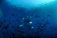 Blauwvintonijn na halve eeuw terug in Noordzee