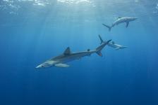 Azoren – Een week tussen de haaien en roggen