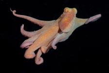 Nachtelijke octopussy