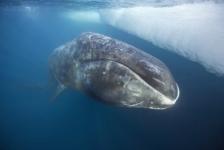 Groenlandse walvis gespot aan Zeeuwse kust