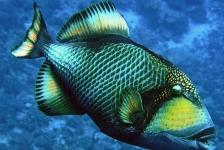 Aanval van triggerfish – vijf tips om er wél ongeschonden uit te komen