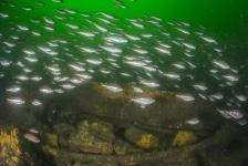 Natuurbeschermers en duikers roepen kabinet op Noordzeegebied Borkumse Stenen te beschermen