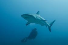 Haaientelweekend – We weten steeds meer over onze haaien