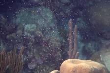 In beeld – Coral spawning bij Bonaire