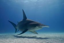 Daan van Schaik – Duiken met haaien in Bimini