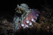 Octopussen veranderen van kleur tijdens ruzies