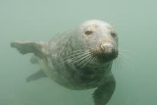 De grijze zeehonden van Lundy