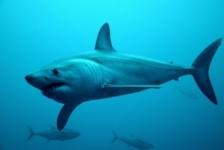 Kiki Vleeschouwers – Duiken met haaien