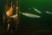 Dirk Van den Bergh – Ik tel wel 6 pijlinktvissen