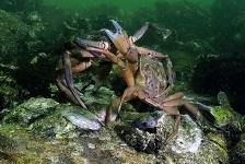 Dirk Van den Bergh – Crabs War II