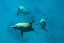 Norbert Meerpoel – Dolfijnen