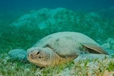 Overvloed aan vrouwelijke zeeschildpadden voorspeld