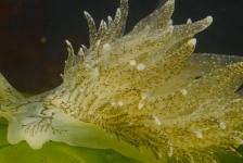 Zeldzame groene rolsprietslakken duiken op in Grevelingenmeer