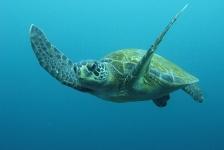 Groene zeeschildpadden in Florida en Mexico niet langer beschermd