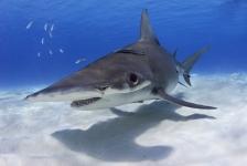 Dutch Caribbean Shark Week – Jörgen Rayman komt op voor de haaien