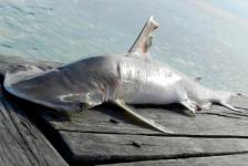 Nieuwe haaiensoort ontdekt bij Belize