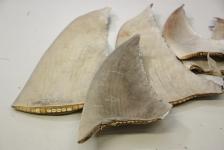 Duizenden haaienvinnen in beslag genomen op Schiphol