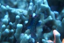 Jans van Wieren – Parende mandarijnvisjes