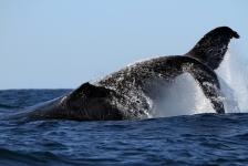 Walvissen tellen vanuit de ruimte
