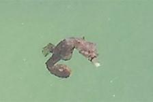 Zeepaardje in haven van Vlieland