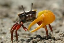 Mannetjeskrabben in Australië zetten vrouwtjes klem