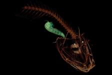 Diepst levende vis ontdekt