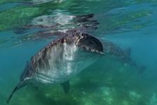 Liefde voor walvishaaien – Het verhaal achter de foto