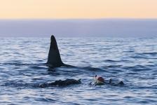 Duikvaker 2019 – Duiken en snorkelen met orka's, walvissen en dolfijnen