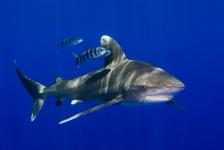 Definitieve, internationale bescherming voor Caribische haaien