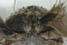 Ovaalronde krabben bereiken Nederlandse kust