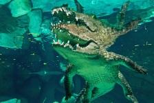 Jacqueline Jongenelen – Kooiduiken met krokodillen