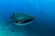 In beeld: ook walvishaaien zijn ooit klein geweest