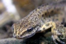 Jos van Zijl – Salamander
