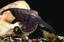Zoenende octopus