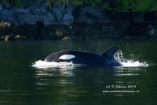 Jagende orka's…