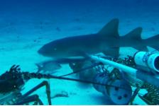In beeld: haai versus kreeften – wie wint?