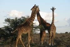 Saskia Uit den Bogaard – Safari boven én onder water in Kenia (2)