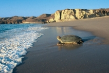 Turtle Care in Oman