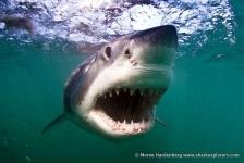 Walvishaai op het menu van de witte haai?