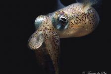 Sepiola atlantica – Het verhaal achter de foto