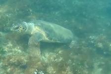 Ronald Monteban- Turtle
