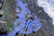 Nieuwe ontdekking: Little Brian, de visetende en zwemmende spin