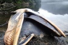 Ruim 300 dode walvissen in Patagonië