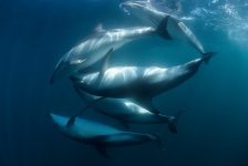 Parende dusky-dolfijnen en een zuidkaper – Het verhaal achter de foto