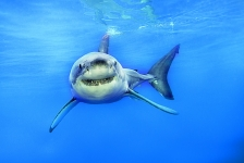 Win kaarten voor Great White Shark!