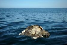 Honderden dode zeeschildpadden aan kust El Salvador