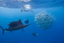 In beeld: Zeilvissen jagen op sardienen