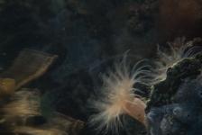 Ad Aleman – Bewegende anemonen