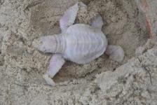 Albino schildpadje geboren